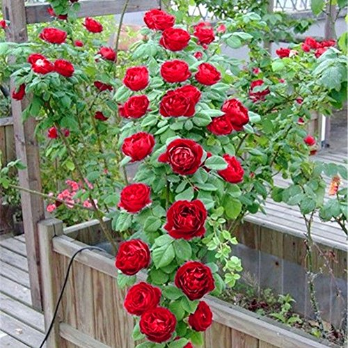 Sun Requirements:?Partial Shade, Partial And Full Sun. Climbing Roses Are A  Popular Plant For Vertical Gardens.